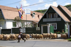 Sheep herd in Blajel