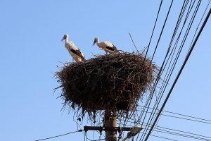 Romainian storks